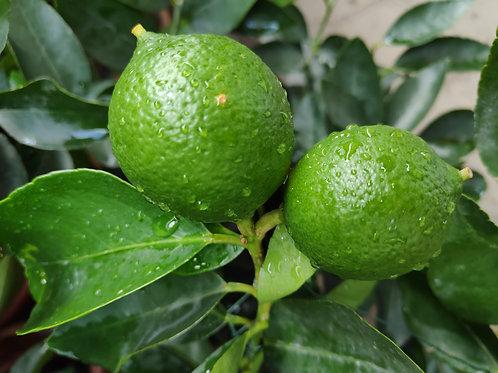 果樹-檸檬-約2-3呎高