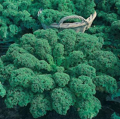 #16156-KALE Dwarf Green Curled Brassica oleracea Acephala