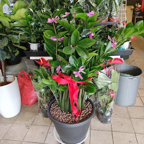 送禮植物-金錢樹