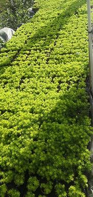 佛甲草-長型培植盆