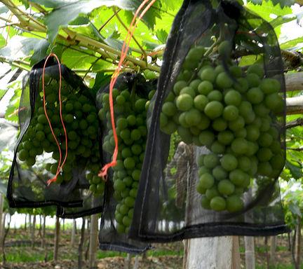 網袋-尼龍瓜網袋-30CM*25CM-葡萄-