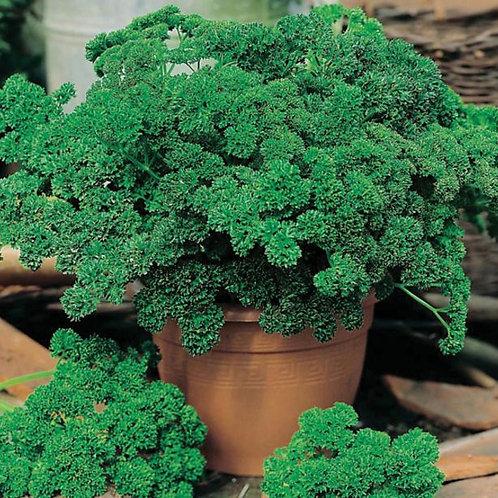 #16307-PARSLEY Moss Curled 2 Petroselinum crispum