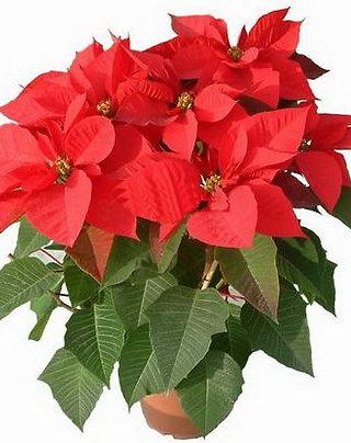 聖誕花-Poinsettia