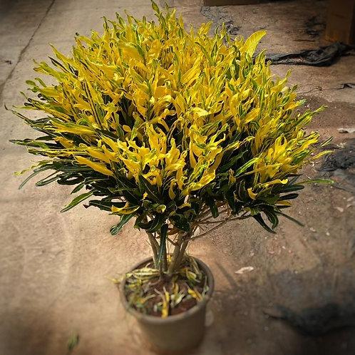 洒金-卷葉-變葉木-1呎盆