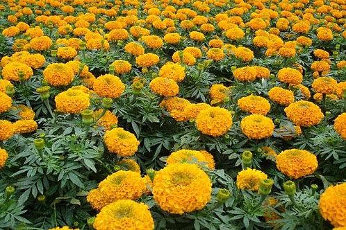 花卉-萬壽菊-橙色