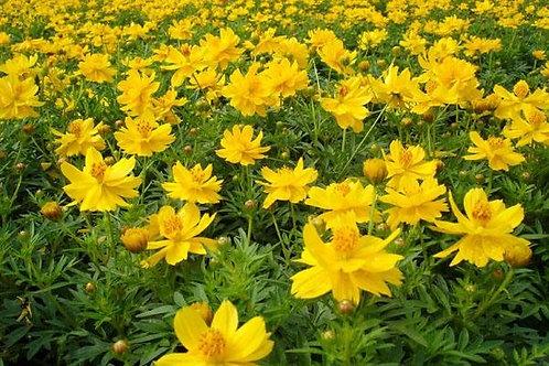 花卉-波斯菊-黃/橙/火紅