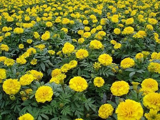 花卉-孔雀草-黃色