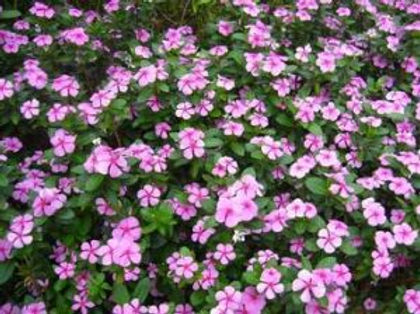 花卉-中國長春花