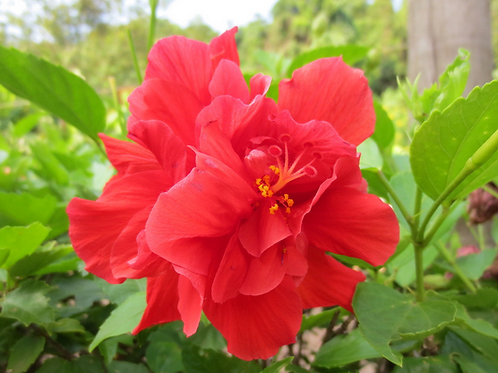 朱槿-大紅花-大花