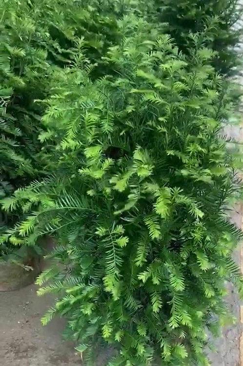 紅豆杉-1米高