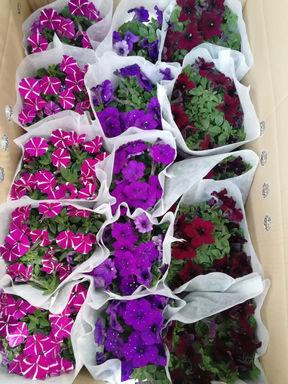 花卉-矮牽牛-紫/粉/紅