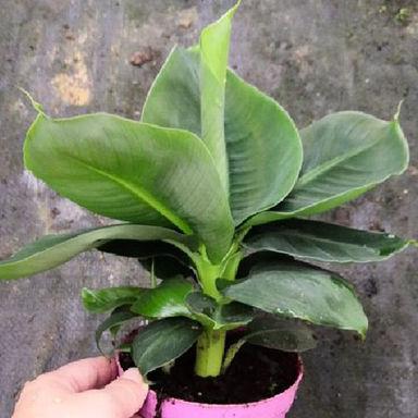 矮種香蕉苗-Banana