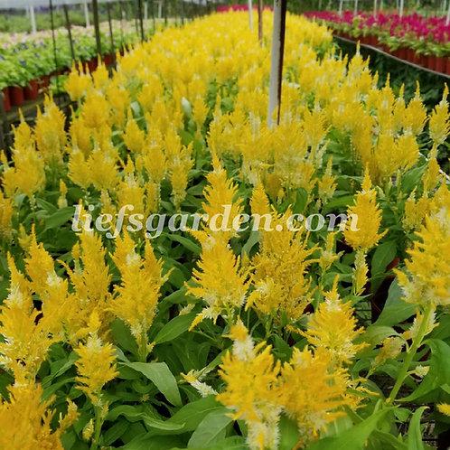 花卉-鳳尾花-黃色
