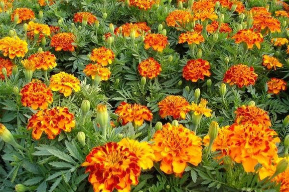 花卉-孔雀草-紅黃雙色