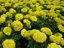 花卉-萬壽菊-黃色