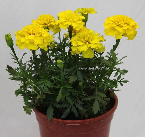 黃色萬壽菊
