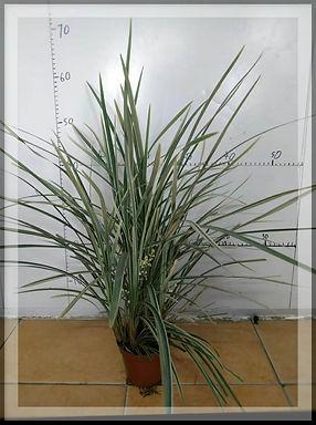 盆栽-花葉草蘭