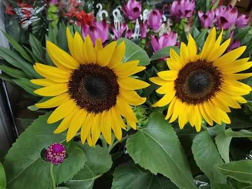 花卉-向日葵