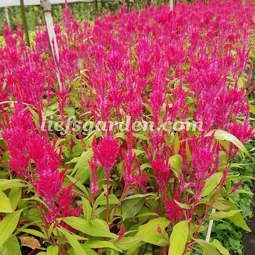 花卉-鳳尾花-紅色