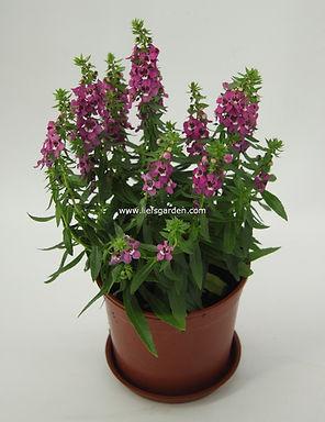 花卉-小天使-紫色