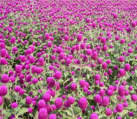 花卉-千日紅