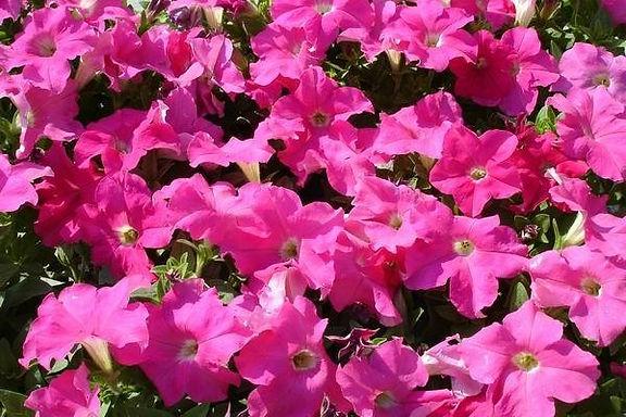 花卉-矮牽牛-紫/粉/紅/桃紅/紫紅