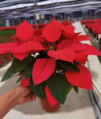 聖誕花(紅色)-12吋盆-高約36吋