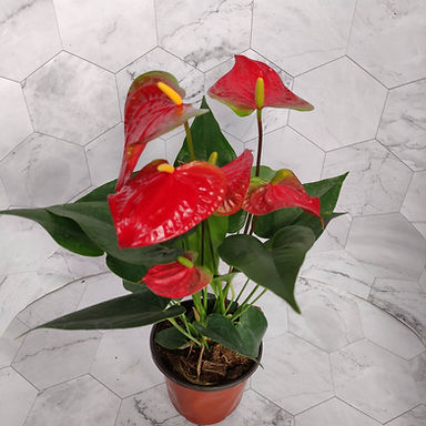 花卉-紅掌-#120