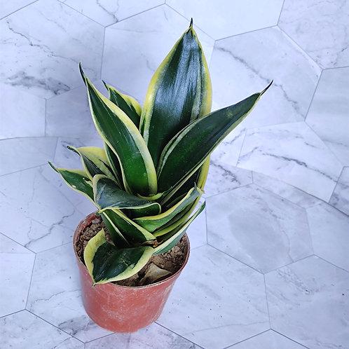 植物-荷花蘭-#100