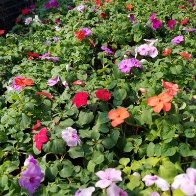 花卉-洋鳳仙-多色