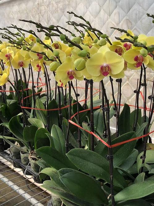 黃花紅心-Orchid-蘭花