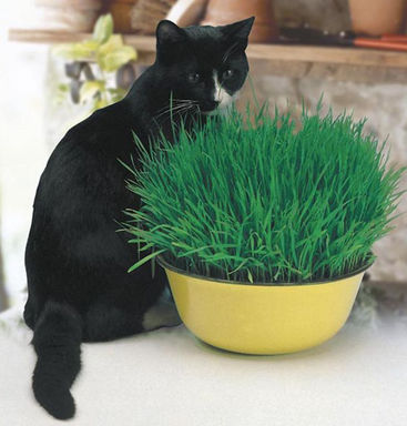 #10183-CAT GRASS Avena sativa-(燕麥)