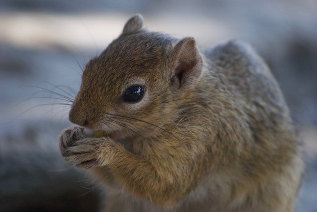 African tree squirrel, Namibia