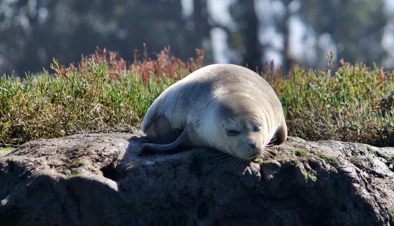 Harbour seal, California