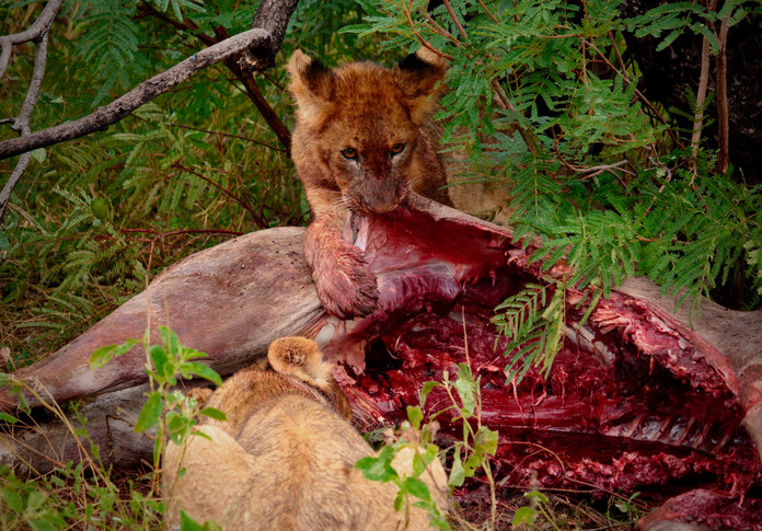 Lion cubs on kudu kill, South Africa