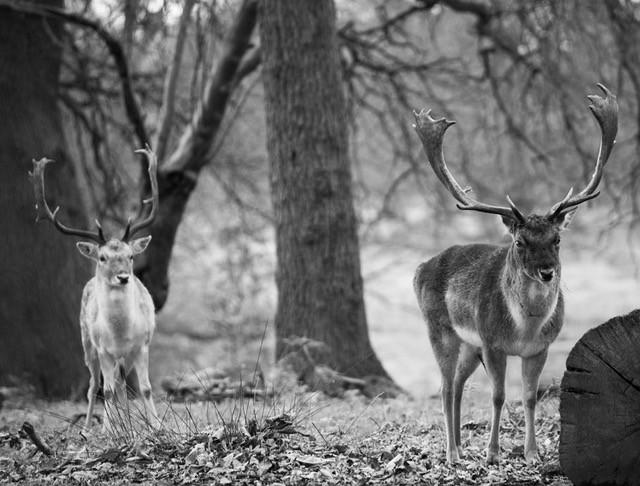 Fallow deer, UK
