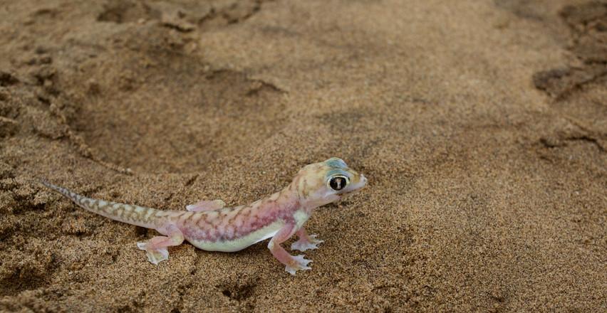 Palmato gecko, Namibia