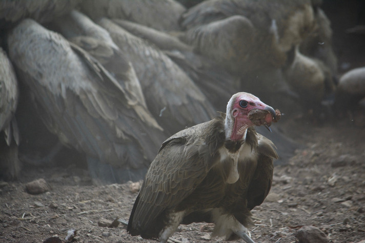 Hooded vulture, Zimbabwe