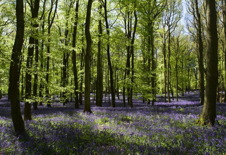 Bluebell forest, UK
