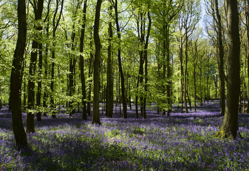 Bluebell forest, UK