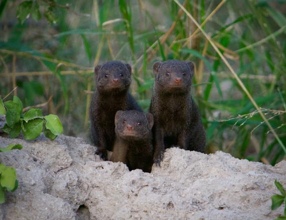 Dwarf mongoose, South Africa