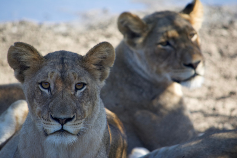 Lionesses, South Africa
