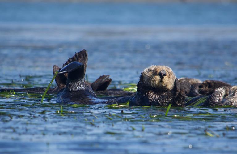 Sea otter, California