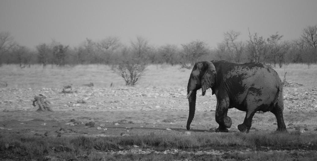 Elephant in B&W, Namibia
