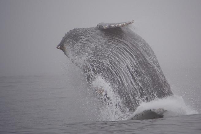 Humpback whale breaching, California