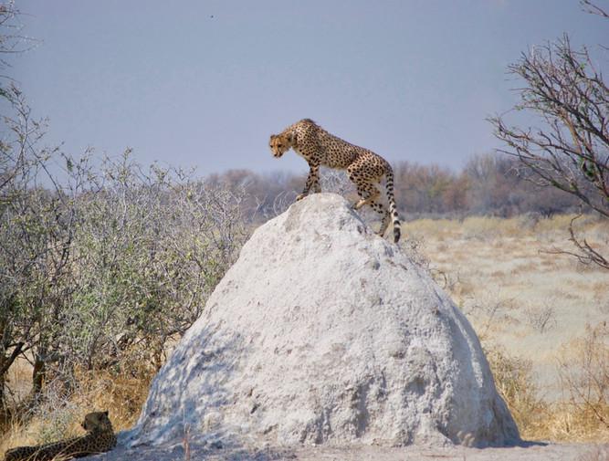 Cheetah posing on a termite mound, Namibia