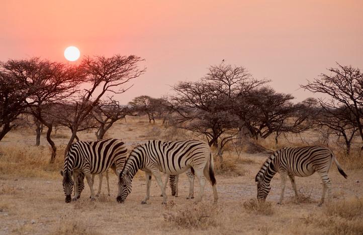 Zebras at sunrise, Namibia