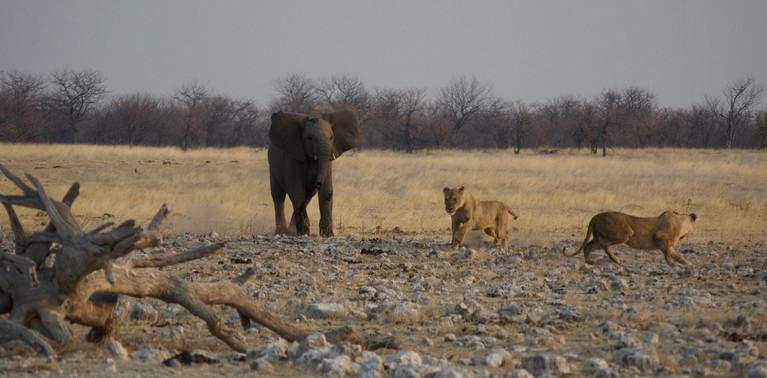 Elephant protecting its herd, Namibia