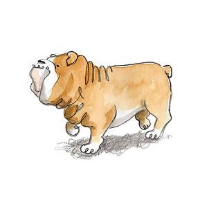 bulldog standing.jpg