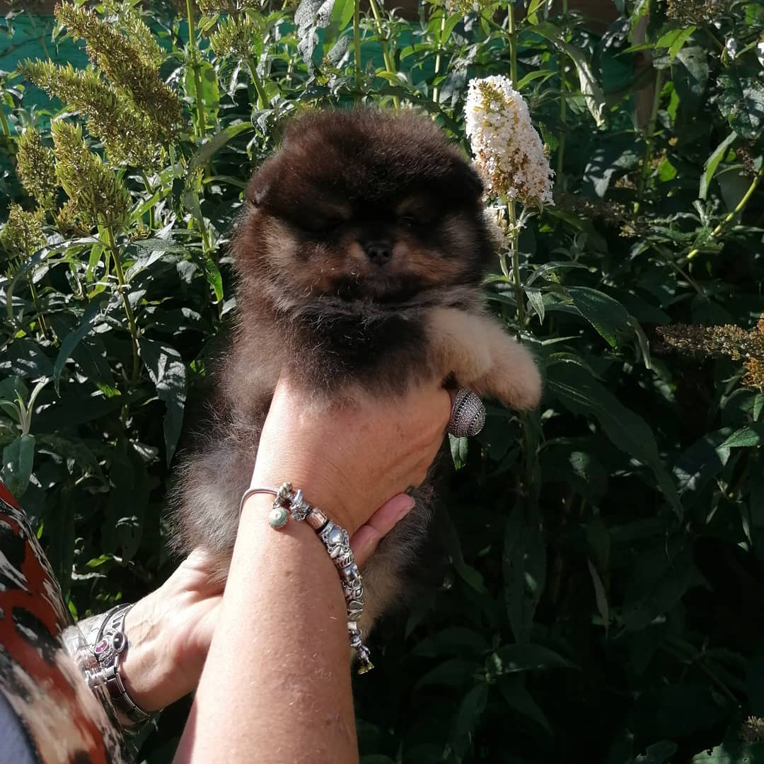 black and tan pomeranian boy for sale